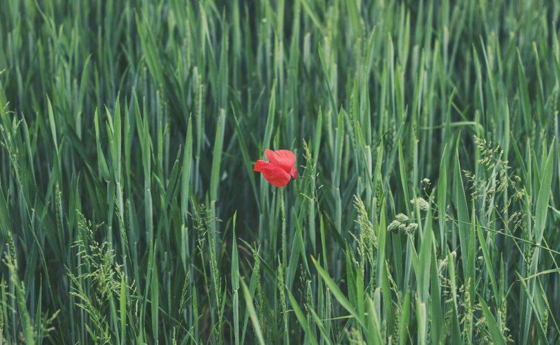 jediný kvet na zelenej lúke