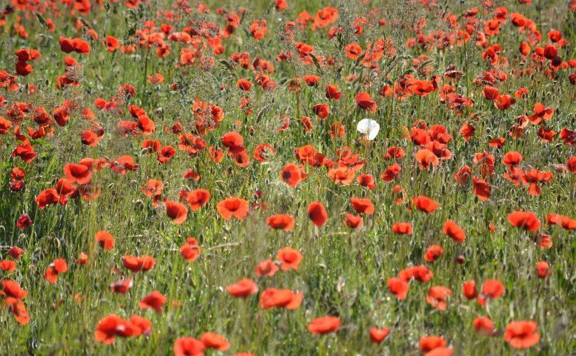 jeden biely kvet medzi mnohými červenými kvetmi